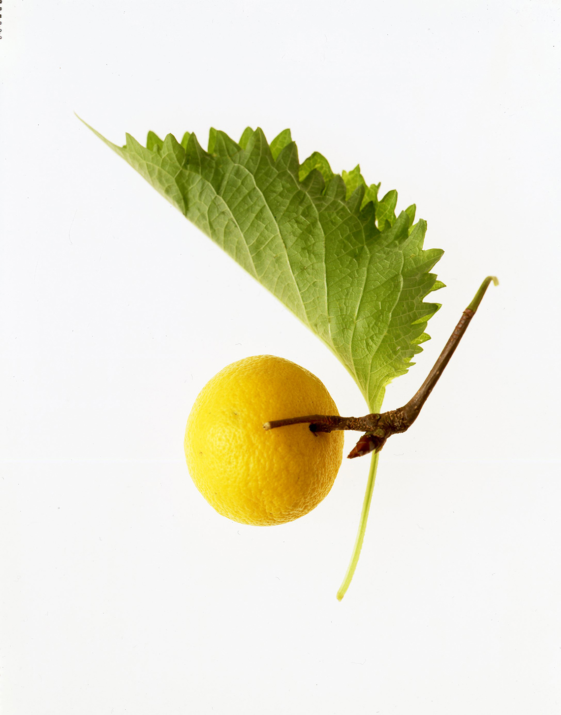 11_Botanicals_lemon_shethu_leaf-001