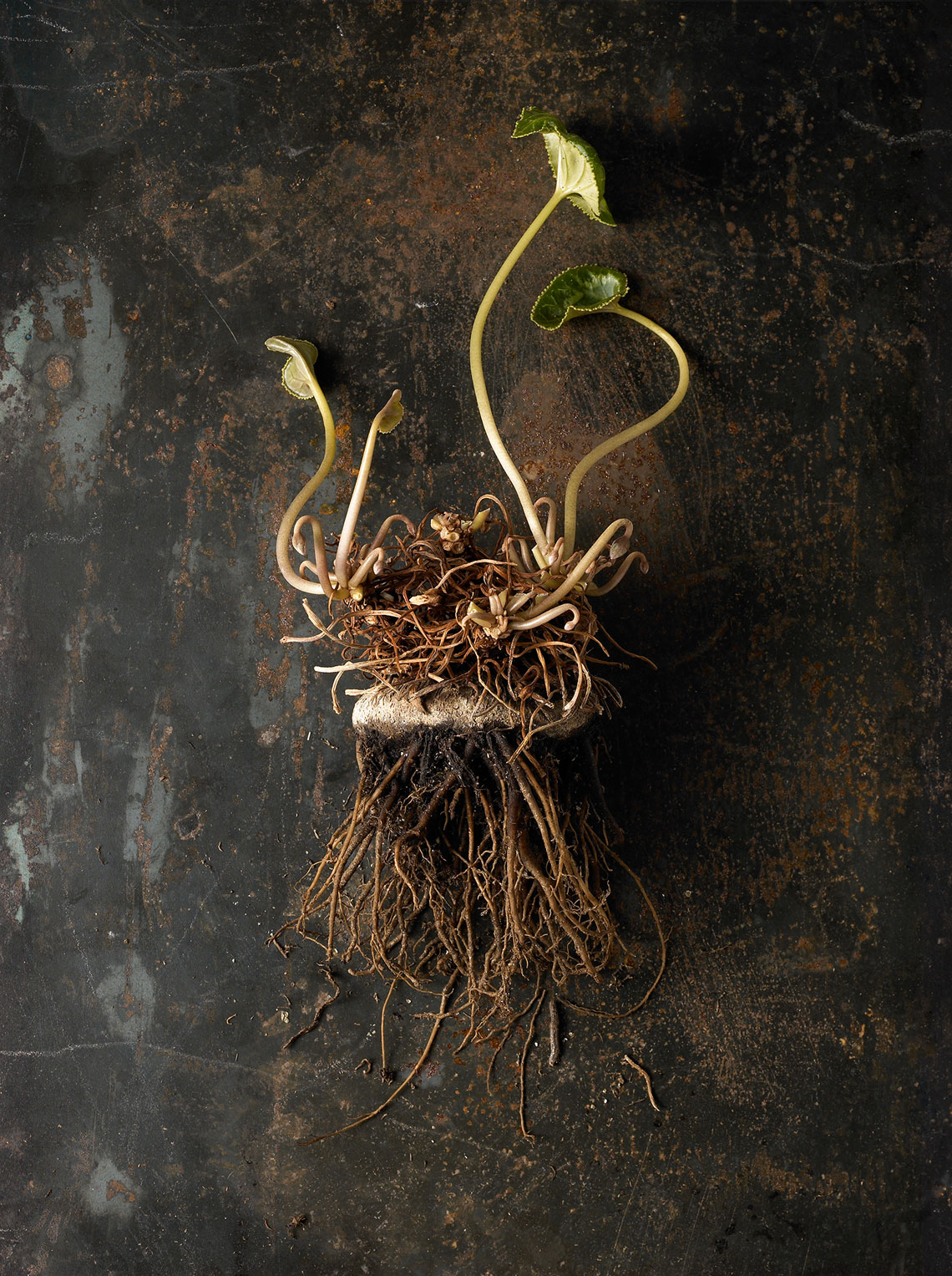 roots-019-as-Smart-Object-1